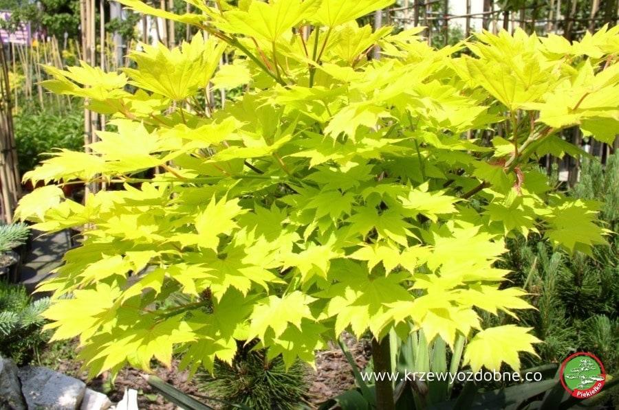 Inteligentny Oferta | Szkółka drzew i krzewów ozdobnych Piekiełko VQ87